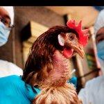 В птицеводческом хозяйстве «Евродон» Ростовской области зафиксирован птичий грипп