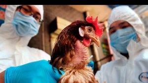 На птицеводческих фермах евродона снова выявлен птичий грипп