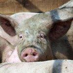 В Приморском крае выявлен очаг заболевания свиней ящуром