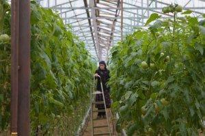 """В Дагестане готовятся к запуску в эксплуатацию тепличного комплекса """"Агромир"""""""