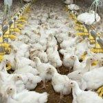 В Республике Бурятия планируют построить крупный птицеводческий комплекс