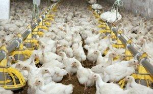 В Бурятии намерены построить птицефабрику по выращиванию бройлеров