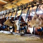 Башкирско-итальянское предприятие по производству говядины наращивает объемы