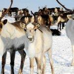 В Ямало-Ненецком автономном округе появилось первое фермерское хозяйство оленеводов