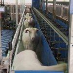 В Нижегородской области планируют построить крупную овечью ферму
