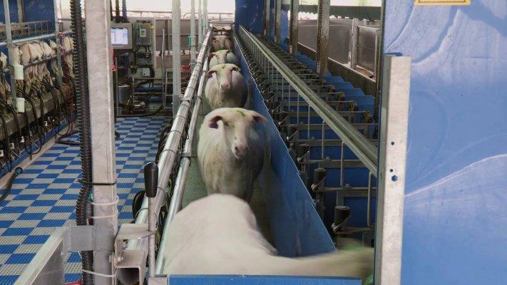 В Нижегородской области создается овечья ферма на 2000 голов