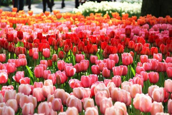 И в Сибири весной цветут тюльпаны