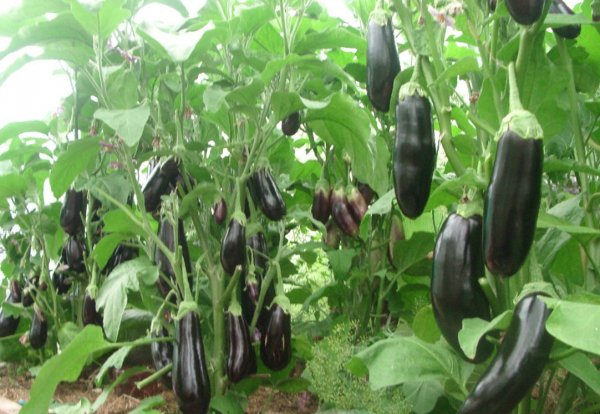 В России будут выращивать в теплицах баклажаны и перец