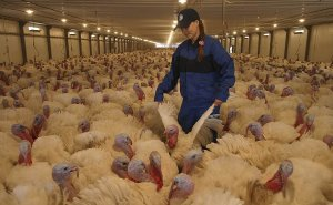 На Ставрополье появится новый комплекс по производству мяса индейки