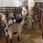 В Ставропольском крае создается новый комплекс по выработке козьего молока