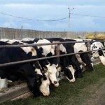 В Костромской области введен в строй молочный животноводческий комплекс «Шуваловское молоко»