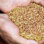 В правила предоставления аграриям субсидий внесены изменения по использованию семян