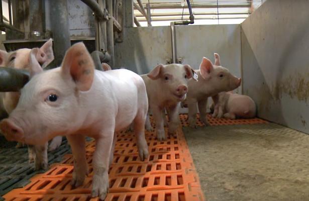 Тамбовский бекон ГК Русагро наращивает объемы производства свинины