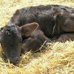 В Амурской области пол новорожденных телят был заказан заранее
