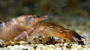 В Ленинградской области создается производство тихоокеанской креветки