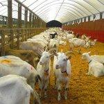 В Башкортостане создадут селекционно-генетический центр козоводства