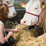 Секрет высоких удоев на Адашевской ферме – добавка сахара в питание коров
