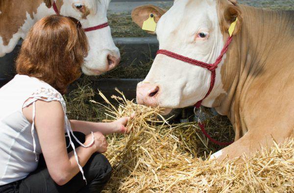 Фермер из Адашево подкармливает своих коров сахаром