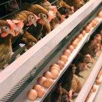Компания «Черкизово» частично ликвидирует производство «Курской птицефабрики»