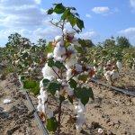 В Дагестане продолжается эксперимент по выращиванию хлопка