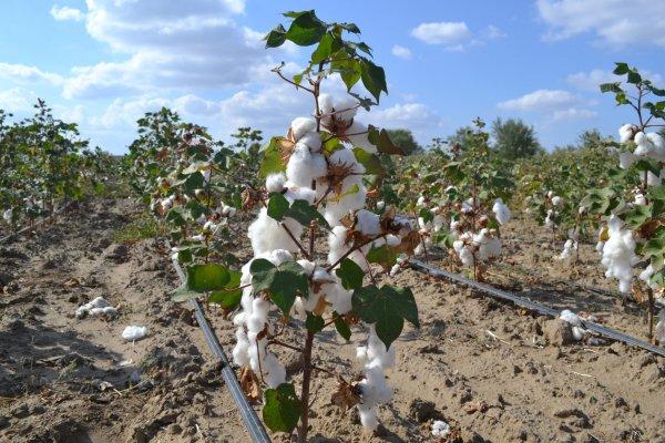 Дагестанские аграрри второй год выращивают хлопок