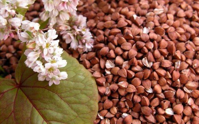 СЕльхозпроизводители Алтайског края снижают производство гречки