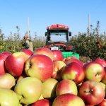 Компания «Сады Белогорья» в два раза расширила площадь яблоневых  посадок