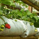 В Ингушетии активно развивается тепличный комплекс по выращиванию клубники «Кантышевский»