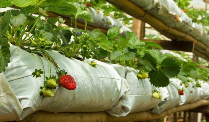 В Игушении развивают тепличное выращивание овощей и фруктов