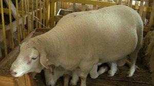На Стврополье разводят ташлинскую породу овец