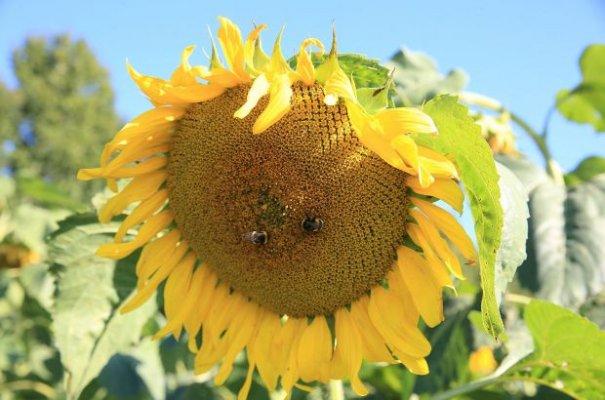 Сельхозпроизводители Липецкой области отдают предпочтение выращиванию масличных культур