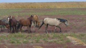 В КУрганской области за безнадзорный выпас животных будут штрафовать на крупные суммы