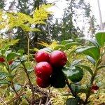 Кооператив «Дикоросы Якутии» в текущем году намерен продать 90 тонн таежной ягоды – брусники