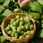 Лечение фундука в Абхазии производится исключительно биопрепаратом российского производства
