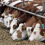 Новые технологии в животноводческом секторе Чувашии