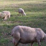 Агрохолдинг «Рота-Агро» создает самое большое в стране стадо овец