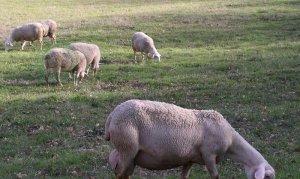 """""""Рота-Агро"""" доведет численность стада овечьего стада породы """"лакон"""" до 1000 голов"""