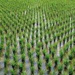 В республике Адыгея увеличивают производство риса