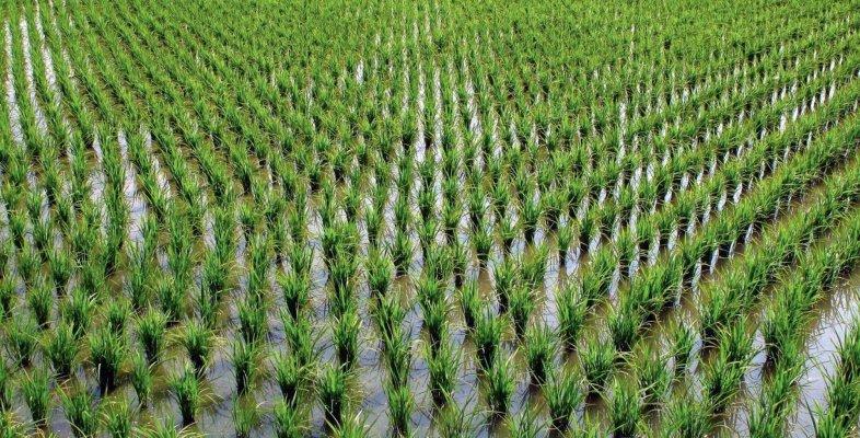 В Республике Адыгея увеличивают площадь рисовых чеков