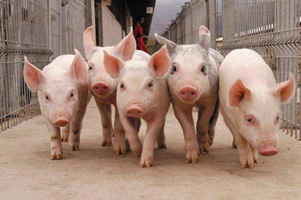 На Ставрополье запустили цех переработки отхождов жизнедеятельности свиней в органическое удобрение