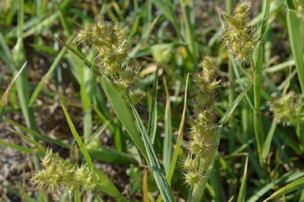 В Рязанской и Тамбовской областях может появиться ценхрус длинноколючковый – опасный карантинный сорняк