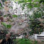 «Россельхозцентр» Крыма призывает своевременно выявлять колонии американской бабочки