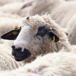 Ставропольский край развивает экспорт баранины в страны Ближнего и Дальнего Востока