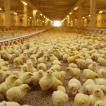 Компания «Черкизово» отложила строительство в Липецкой области птицеводческого комплекса