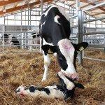 Тюменский молочно-товарный комплекс компании «Дамате» перешел в разряд племенного репродуктора