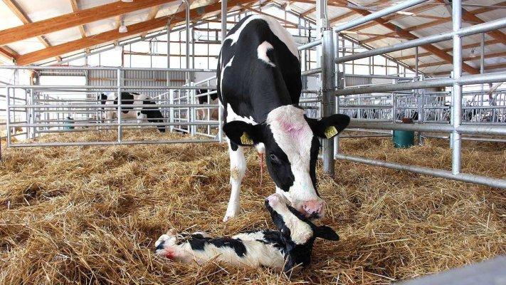 """Предприятие """"Тюменские молочные фермы"""" компании """"Дамате"""" получила статус племенного хозяйства"""