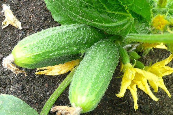 Первый урожай супермелких корнишонов собирают в Астраханской области