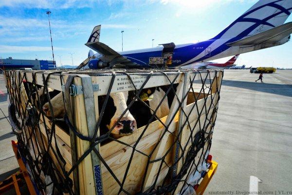 В Приморье из Венгрии прибыли коровы голштинской породы