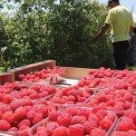 В Татарстане активно выращивают плодово-ягодные и овощные культуры