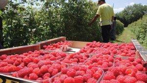 В Татарстане активизируется производство ягод и овощей